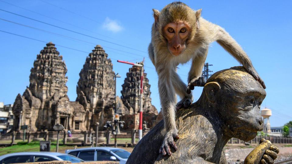 A longtail macaque on top of a monkey statue in front of the Prang Sam Yod Buddhist temple in the town of Lopburi, Thailand on June 20. These fearless primates rule the streets around the Prang Sam Yod temple in the centre of the town, patrolling the tops of walls and brazenly ripping the rubber seals from car doors. (Mladen Antonov / AFP)