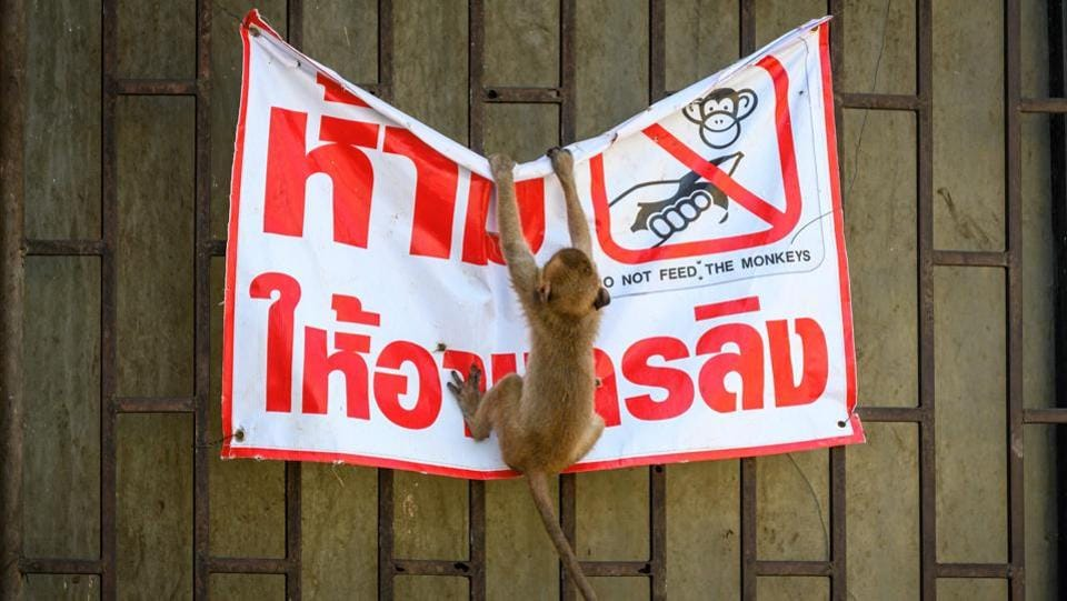 "A longtail macaque tears down a poster reading ""Don't feed the monkeys"" in Lopburi on June 21. No one seems to remember a time without the monkeys, with some speculating that the urban creep into nearby forests displaced the simians into the city. Residents have taken it upon themselves to feed the macaques to prevent clashes. (Mladen Antonov / AFP)"