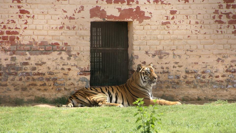 So far nine tiger deaths have been reported in Maharashtra since January, of which six are from the Tadoba landscape.