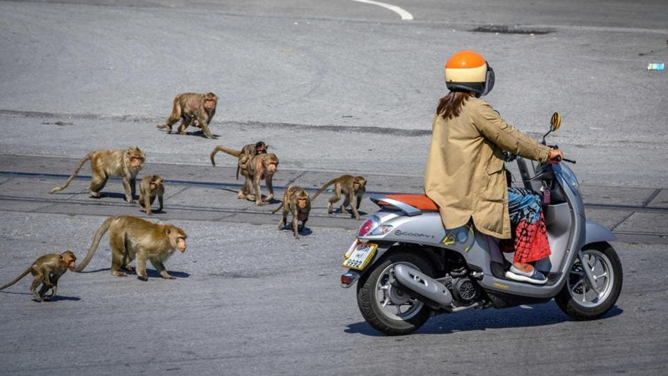 Longtail macaques chase a woman on a scooter in Lopburi on June 20. As foreign tourism -- Thailand's cash cow -- seized up so did the flow of free bananas tossed their way, prodding the macaques to turn to violence. Footage of hundreds of them brawling over food in the streets went viral on social media in March, AFP noted in a report. (Mladen Antonov / AFP)