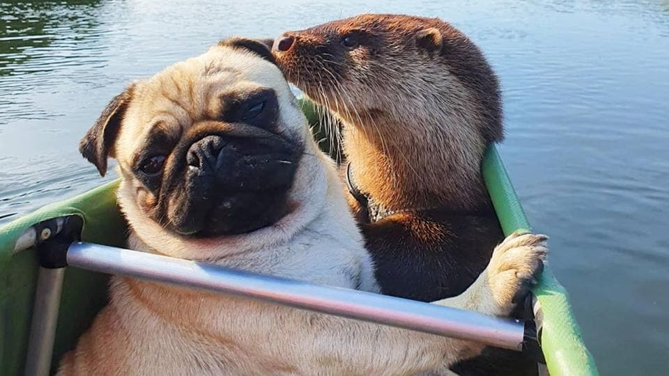 The image shows the otter with its dog friend.