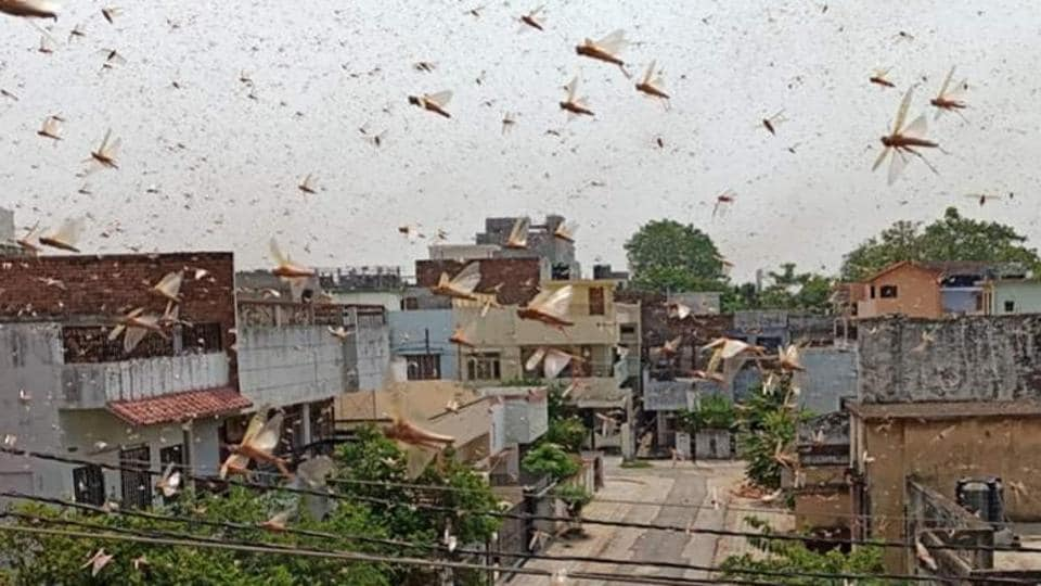 A month ago too Haryana had issued a high alert after locust swarms had attacked crops in neighbouring Rajasthan and a few other states, but luckily the insects had moved away from the state.