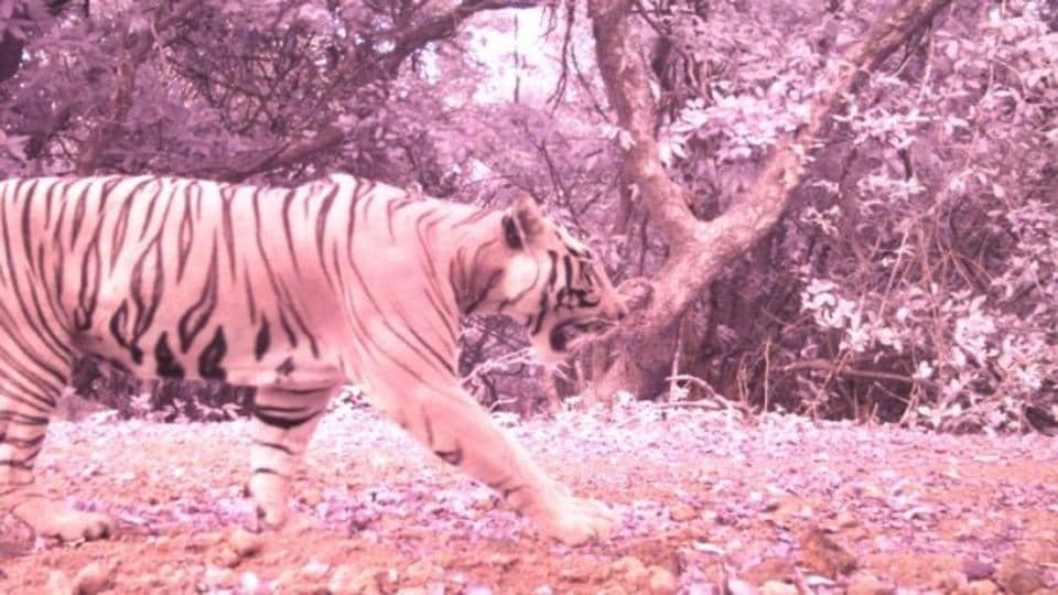 A tiger at the reserve in May 2018.