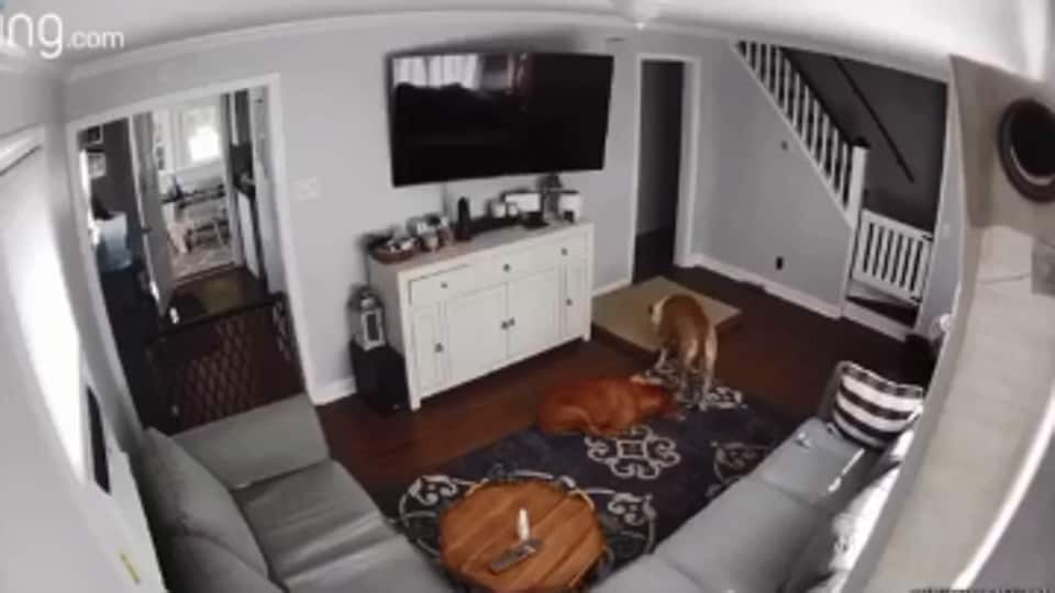 The image shows Spanky dragging his bed.