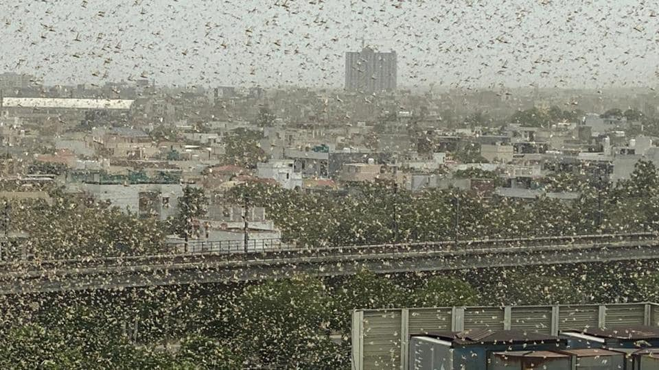 A swarm of locusts seen flying over the DLF area, in Gurugram  on Saturday.