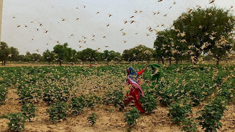 A swarm of locusts flying over a field at Dongra Ahir village, in Mahendragarh district, Haryana. (Photo by Manoj Dhaka/Hindustan Times)