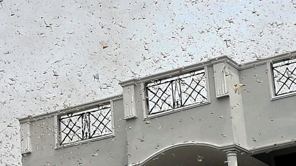 On Saturday, a large swarm of the locusts had entered the city during afternoon hours from Faridabad, flew over some of the district's villages, made a pit stop at Muhamadour Jadaun village and later entered the Bulandshahr district.