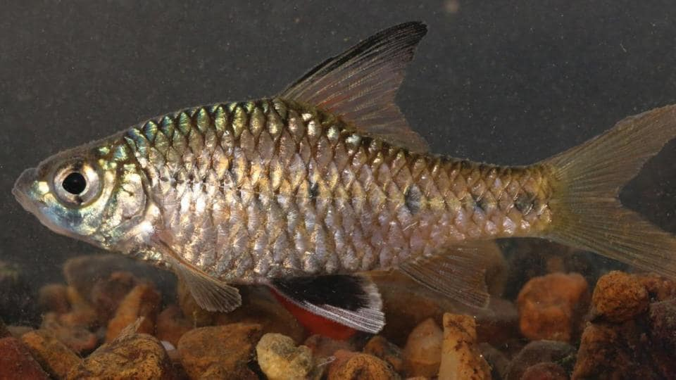The fish is named after  a well-known taxonomist and Professor  Waikhom Vishwanath of  the Manipur University.