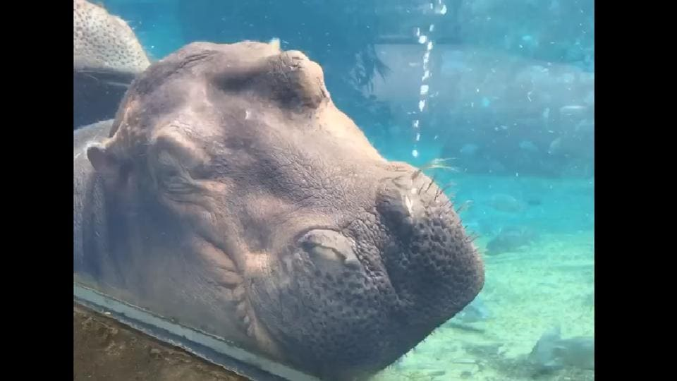 The clip shows her sleeping under water while leaning against the glass on her enclosure.