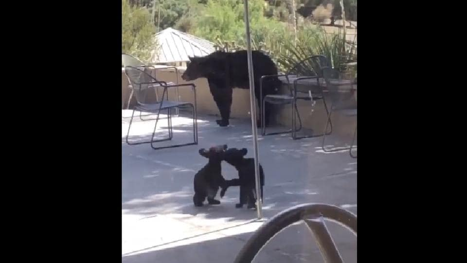The image shows the bear cubs playing and wrestling.