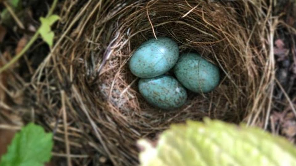 The image shows some eggs inside a bird's nest.