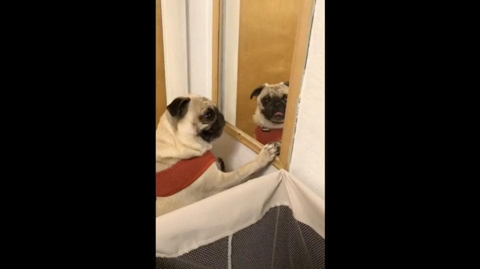 The image shows a pug named Maya standing in front of a mirror.