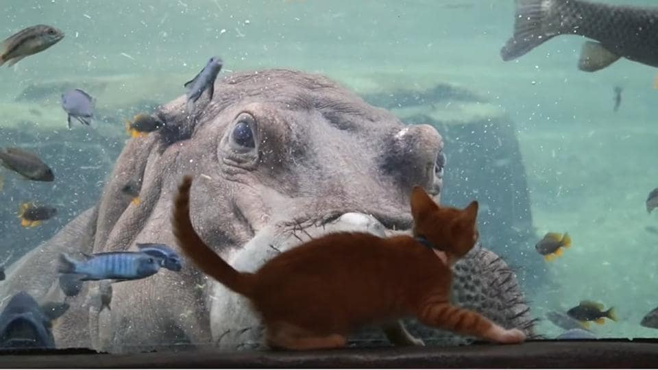 The image shows Timothy, the hippo and a kitten.