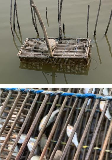 The Fish trap submerged in the Mirzapur waters and (below) the small fish that had been trapped in the contraption.