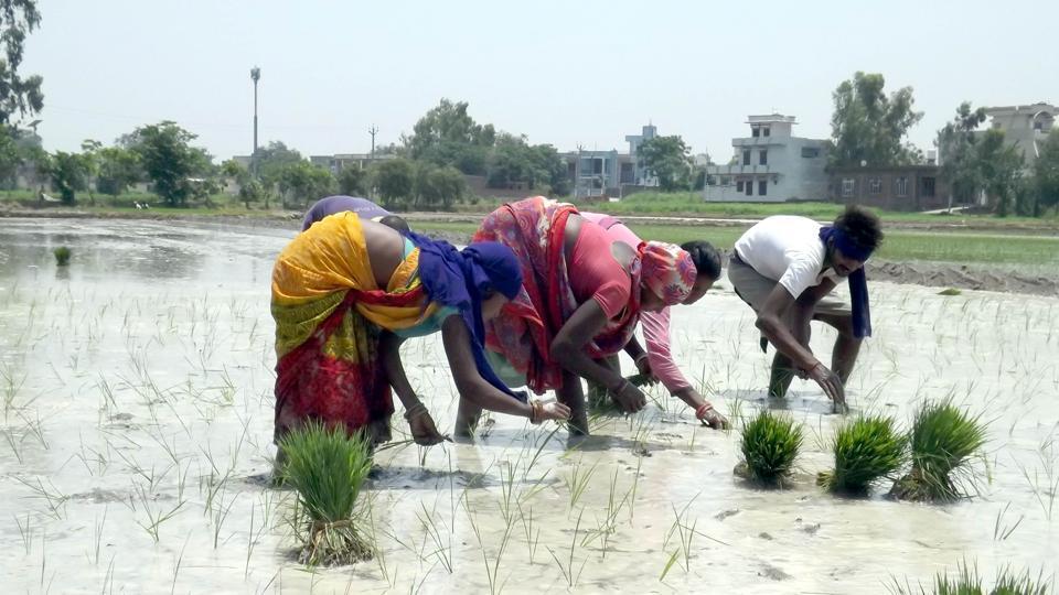Labourers planting paddy sapling on the outskirts of Jalandhar.
