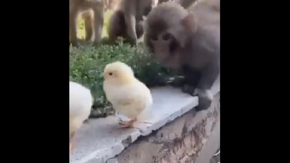The monkeys are seen inspecting the two fluffy birds curiously.