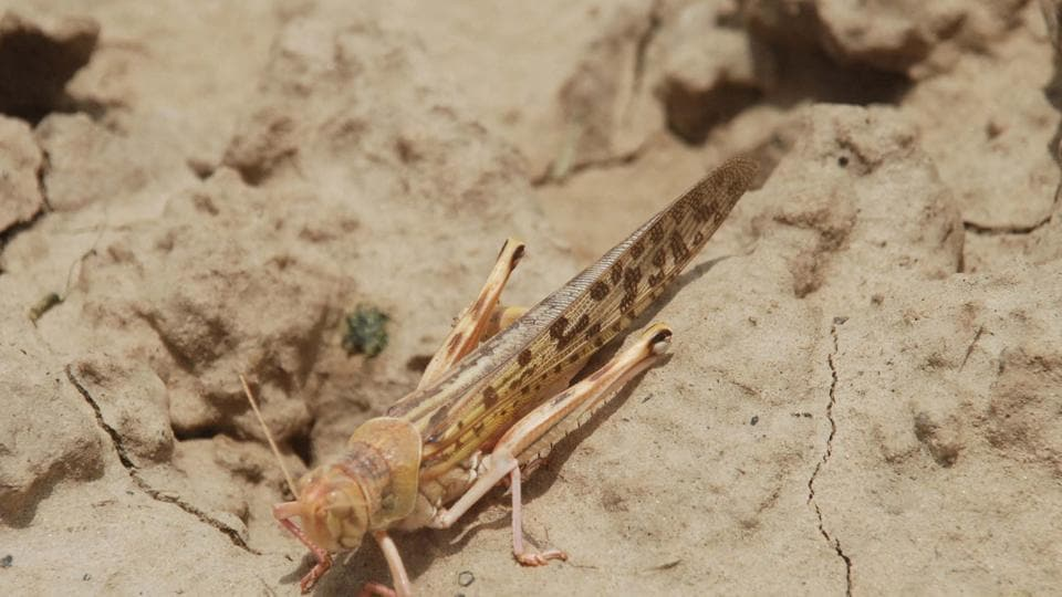 """The UN's Food and Agricultural Organisation (FAO) has said locust invasions from Africa, the worst in 70 years, pose a """"serious"""" risk to the country's agriculture."""