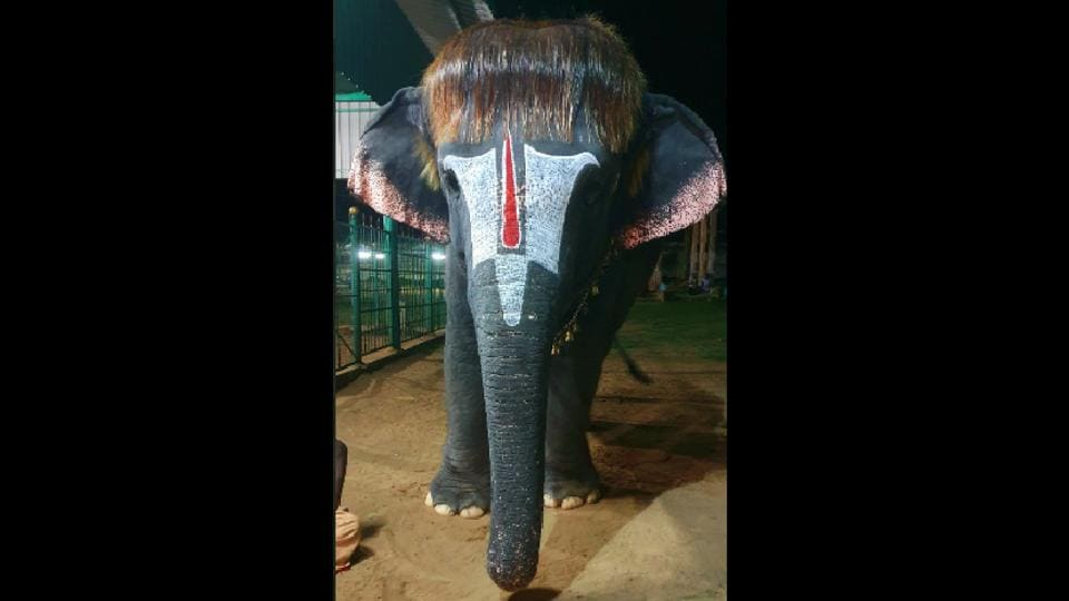 Famously known as 'Bob-cut Sengamalam' this elephant has a huge fan club just for her hair style.
