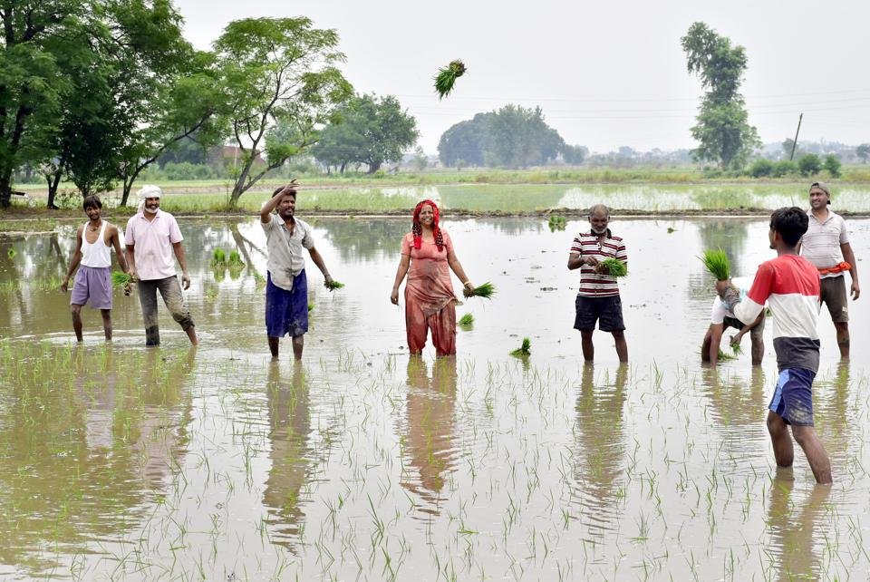 Farm workers sowing paddy in a field near Mudhal village in Amritsar, Punjab. Demand for water peaks during this season in the state.