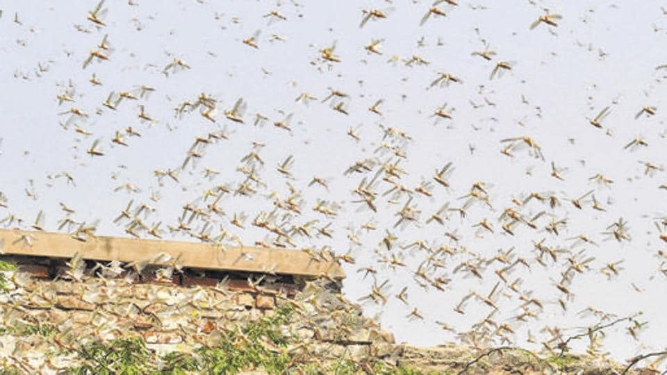 Locust swarms are reportedly damaging crops around the area creating a threat on the livelihood of farmers in Rajasthan.