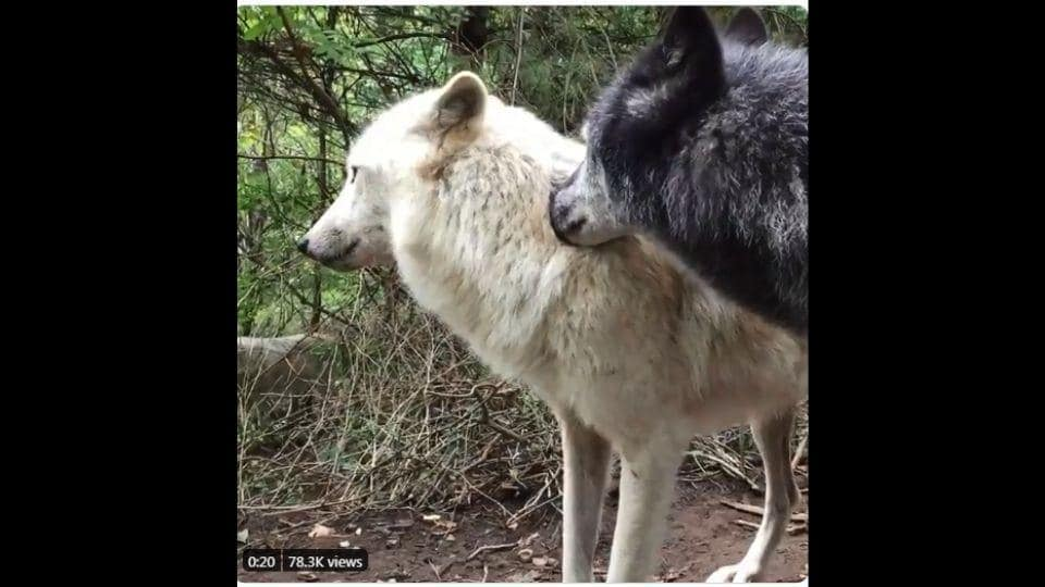The image shows the two wolves.