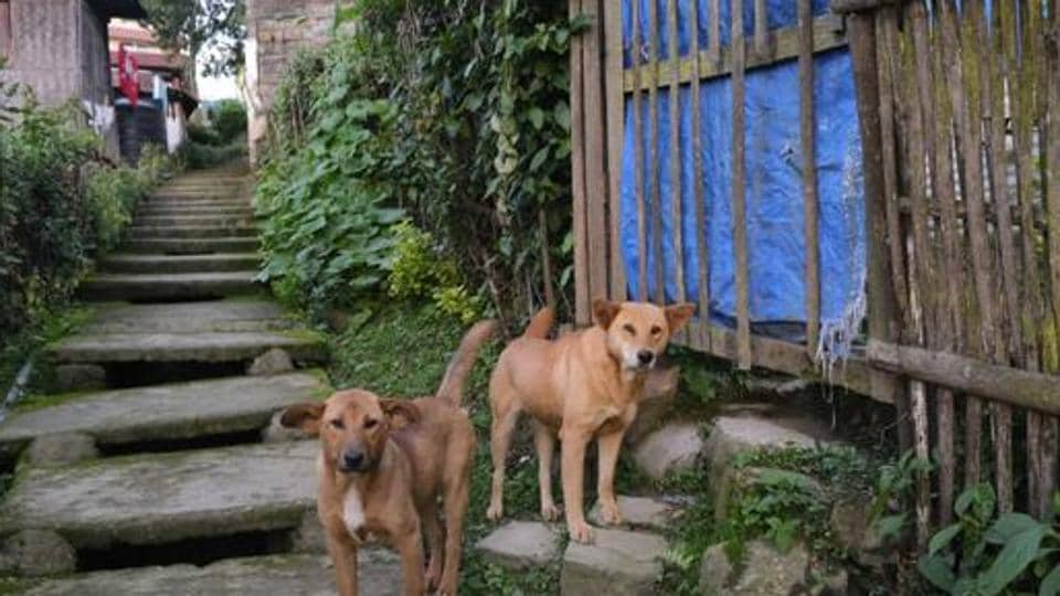 Dogs stand by a flight of stairs outside their house in Kohima, capital of the northeastern Indian state of Nagaland.