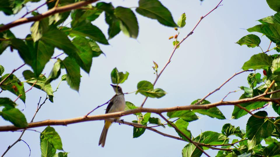 A bird perched on a branch of a mulberry tree. (Representational Image)