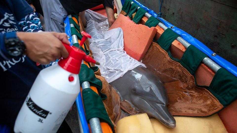 People prepare a bottlenose dolphin to move to Bali Dolphin Sanctuary rehabilitation centre.