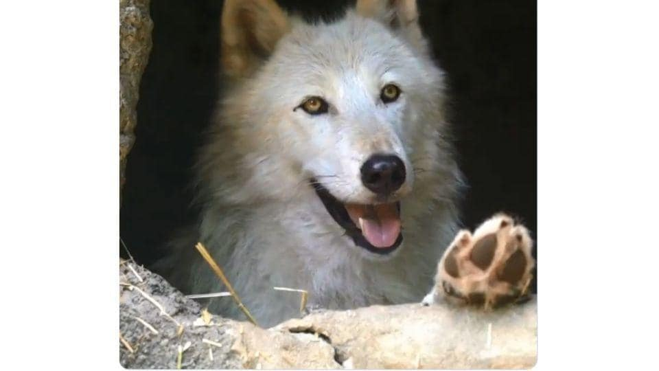 The image shows a white wolf named Nikai.