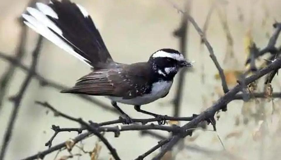 A White-Browed Fantail, a rarely-seen bird, spotted at the Asola Bhatti Wildlife Sanctuary.