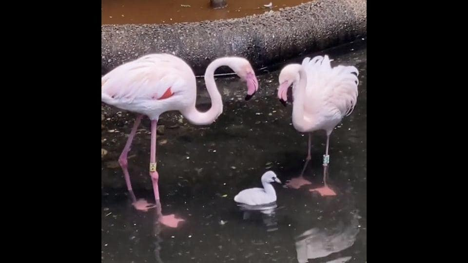 The image shows two flamingos and their baby.