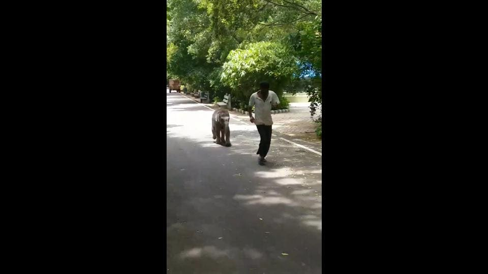 Baby elephant named Vedavathi goes for a walk with keeper, video is adorable. Watch