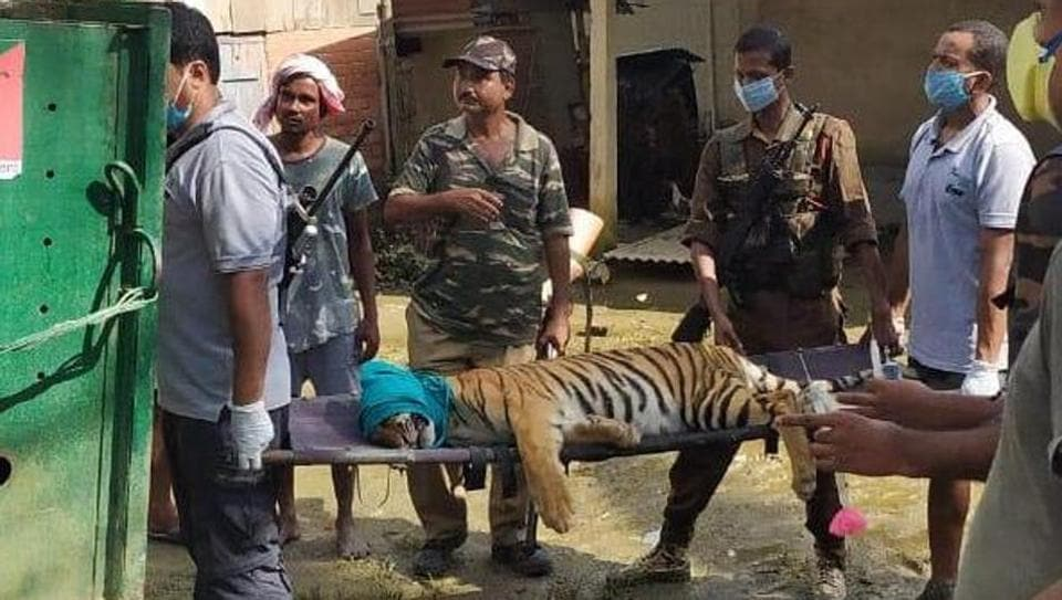 Forest personnel and veterinarians rescue a two-year old tigress that had strayed out of Kaziranga national park due to floods.