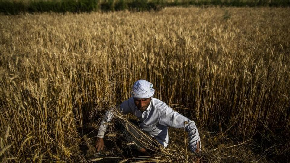A farmer cuts wheat by hand while a harvesting a field in the Bulandshahr district of Uttar Pradesh on April 21, 2020.