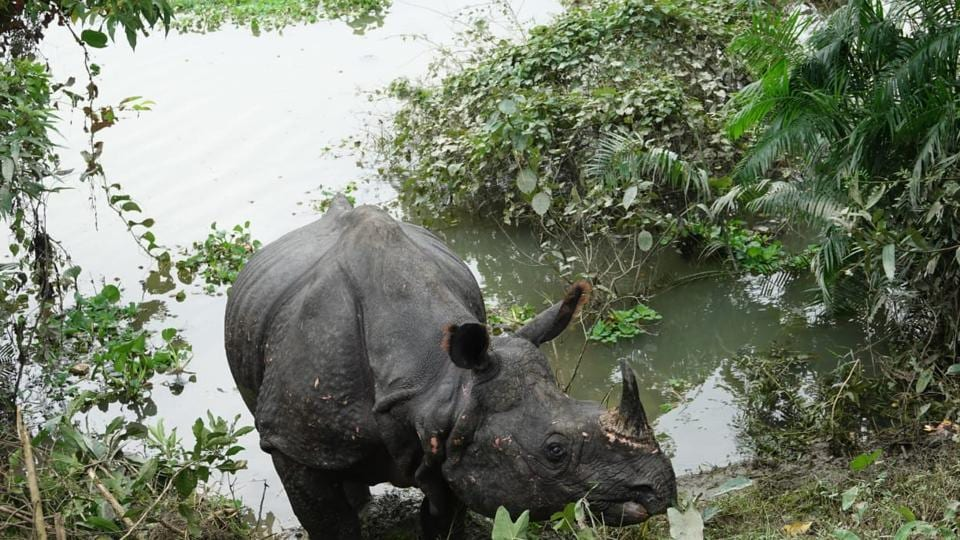 A  rhino, tired after getting stuck for over three days in a swamp, had strayed on to national highway, where he rested all night before moving back inside.