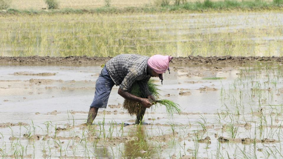 Farm worker plants saplings in a paddy field on the outskirts of the city, in Noida.