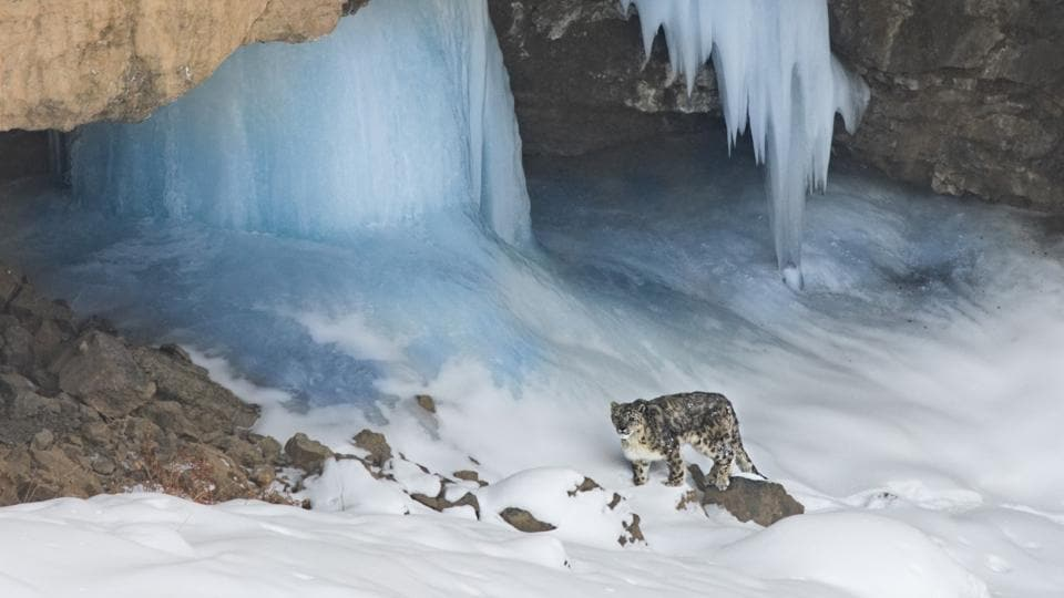 The project will be on the lines of the global project named 'Population Assessment of World's Snow leopards (PAWS)' carried out by 12 countries where the highly rare animal is found.