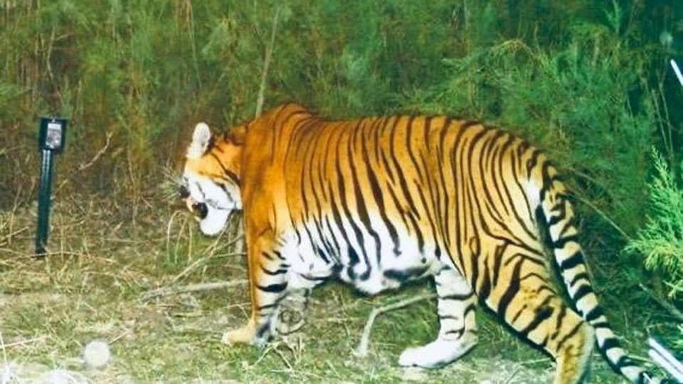A tiger spotted at the Laokhowa Burhachapori sanctuary.