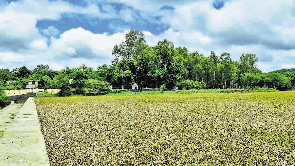 Water hyacinth covers Pashan lake in Pune on July 27.  PMC transport department officials said that they had agreed to only provide vehicles and equipment for the removal of hyacinth, while the main responsibility lay with the health department.