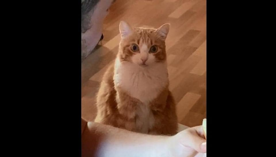 Cat Transfixed by Owner's Food