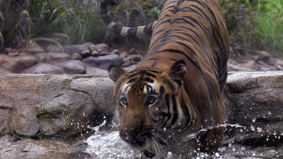 File photo: A tiger takes a lap in his enclosure at a zoo in Mumbai.