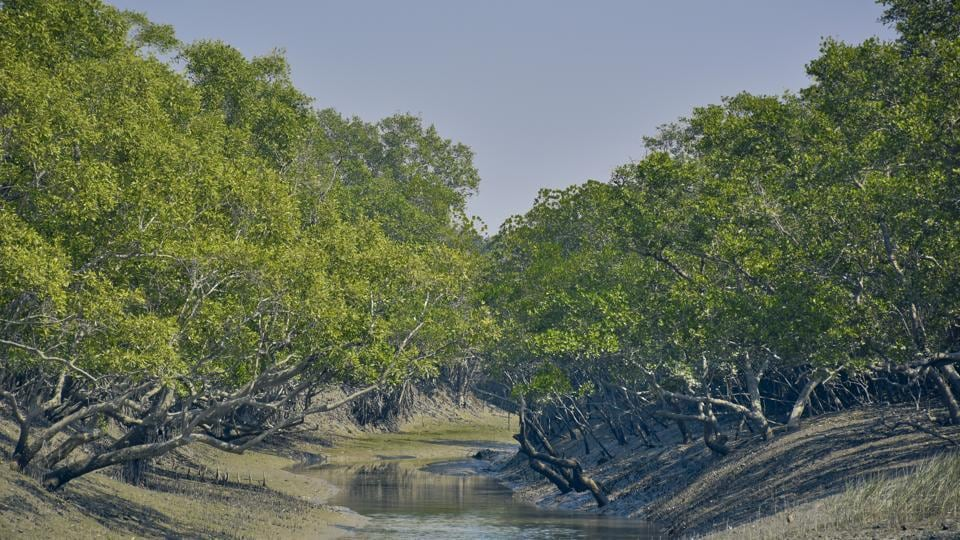 Sundari tree (Heritiera fomes) forest in Sunderbans river delta. The Sundarbans mangrove forest, one of the largest such forests in the world and it is an Unesco World Heritage Site.