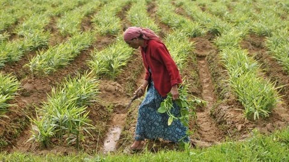 A farm labourer weeds a ginger field in Nagarally village in Karnataka,