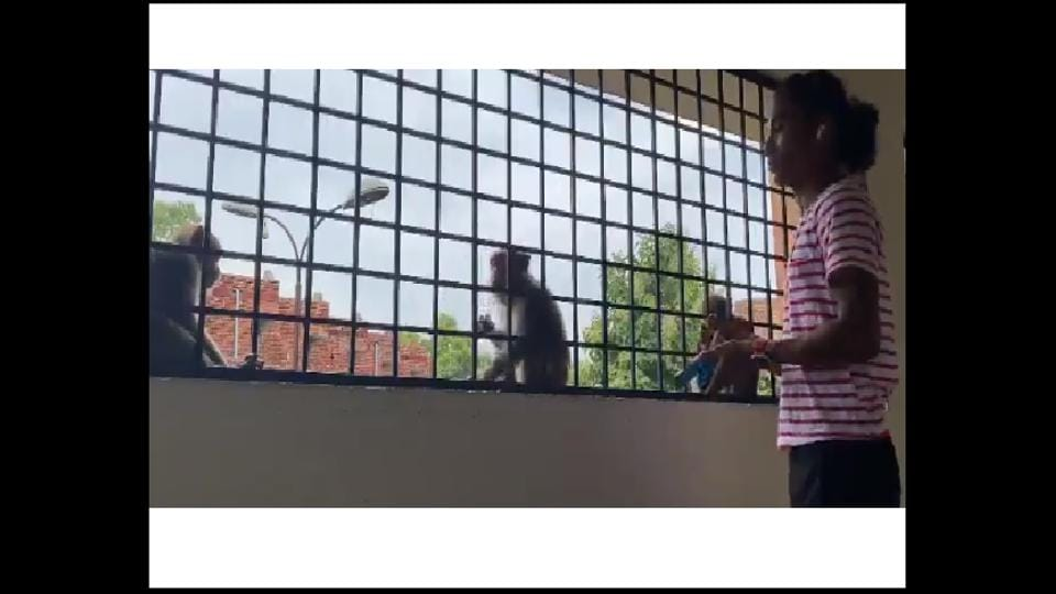 The monkeys can be seen sitting on the other side of a railing and taking biscuits from Das.