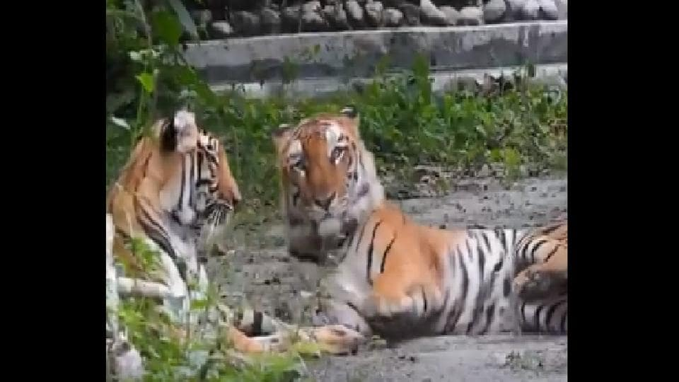 The North Bengal Wild Animals Park here is all set to welcome new members as tigress Sheela has conceived again.