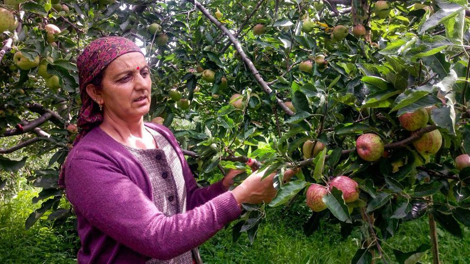 A farmer plucks apples from a tree at an orchard in Shimla, Himachal Pradesh on August 1. The monsoon covered the entire country nearly two weeks earlier than usual, helping farmers speed up planting. (PTI)