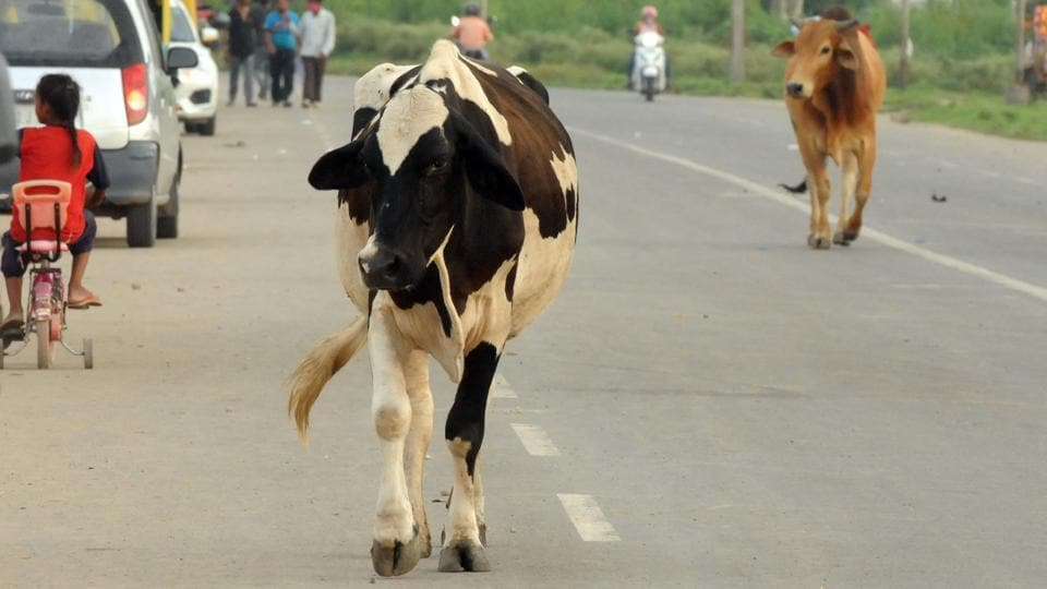 Stray cattle on the road in Sector 52, Chandigarh, on Sunday.