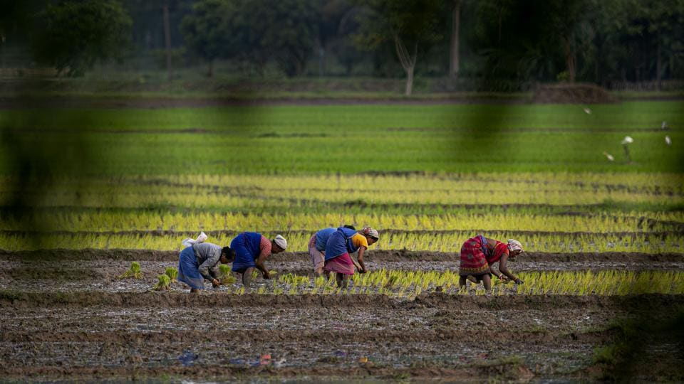 Farmers work in a paddy field on the outskirts of Guwahati in Assam on July 30. The area planted with rice, the main food crop of the world's second-most populous country, was 26.7 million hectares, compared with 22.4 million hectares in the year-earlier period, Reuters reported. (Anupam Nath / AP)