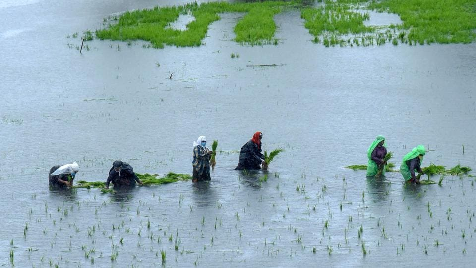 Farmers transplant paddy saplings in a field in Kochi, Kerala on July 29. Monsoon rains are critical for farm output and economic growth as about 55% of India's arable land is rain-fed, Reuters reported. (PTI)