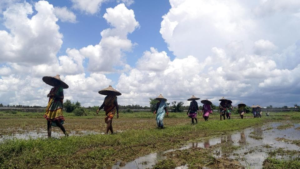 Farmers head to plant paddy saplings in Bhubaneswar, Odisha on August 1. The India Meteorological Department defines average, or normal, rainfall as between 96% and 104% of a 50-year average of 88 cm for the entire four-month season, Reuters reported. (ANI)